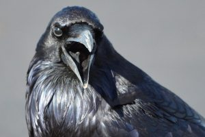 Read more about the article Watch This Raven Take Out A Google Drone…And Other Small Business Tech News